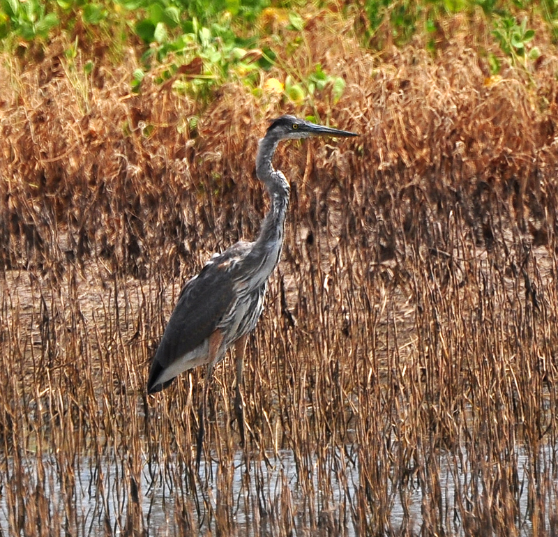 blue heron in a field