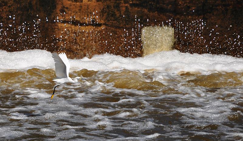 egret at the dam