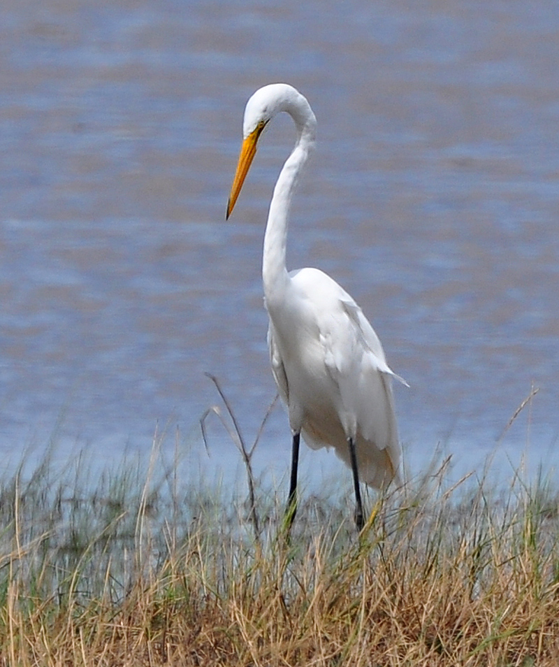 great egret posing