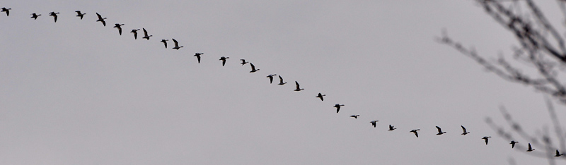 line of geese