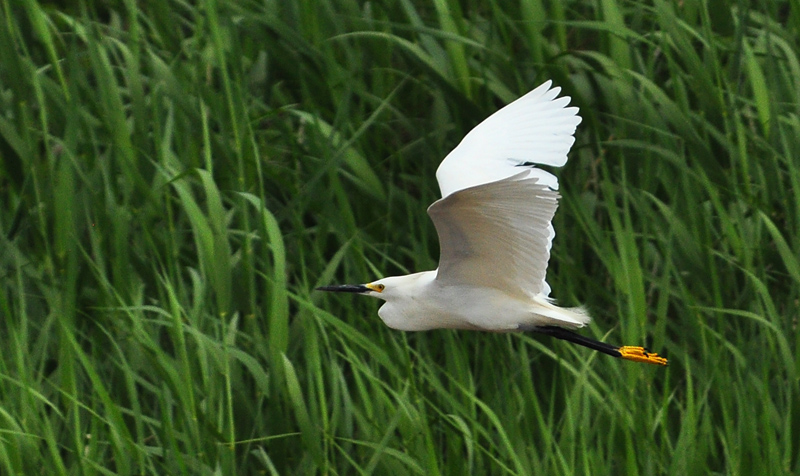 egret flying through grass