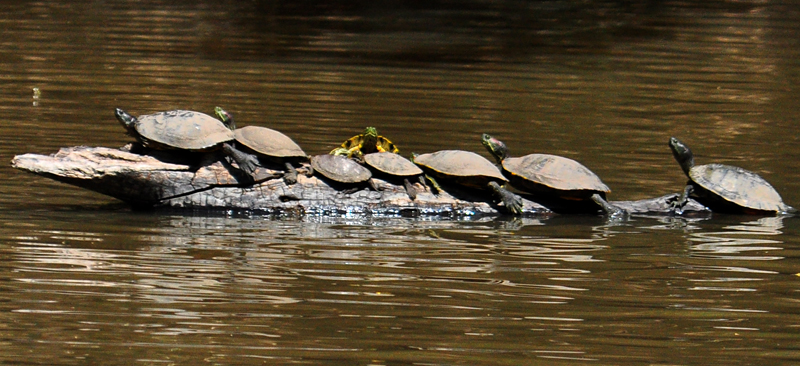 turtle crowd
