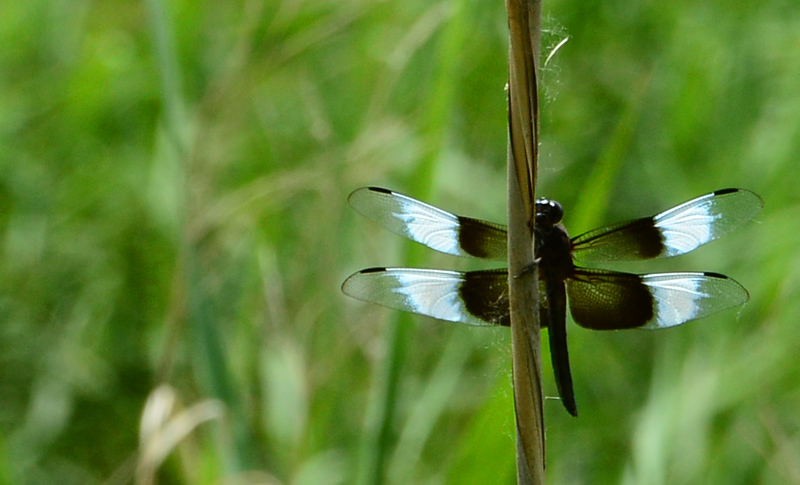 black-and-white dragonfly