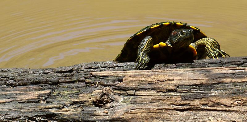 turtle rising
