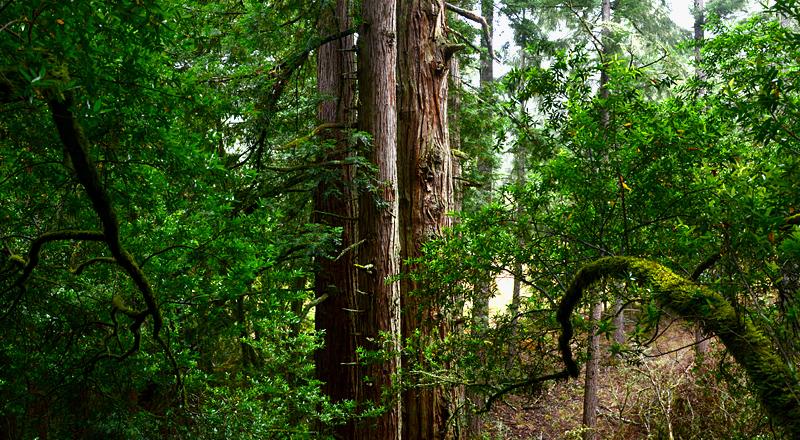 redwoodsisters