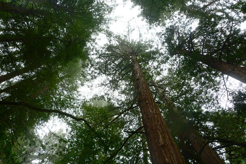 redwoodslookingup
