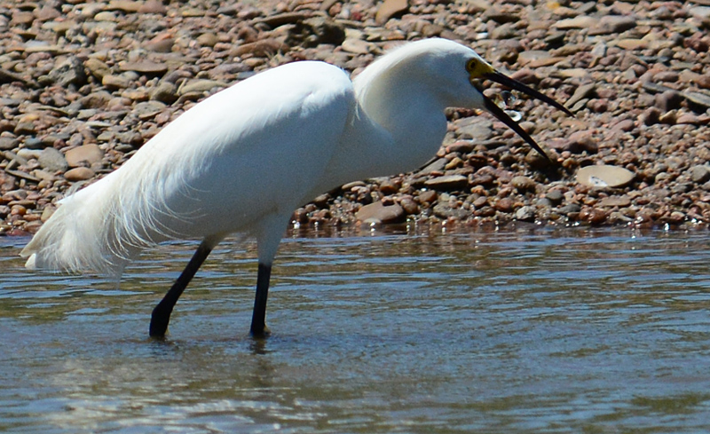 egret eats fish