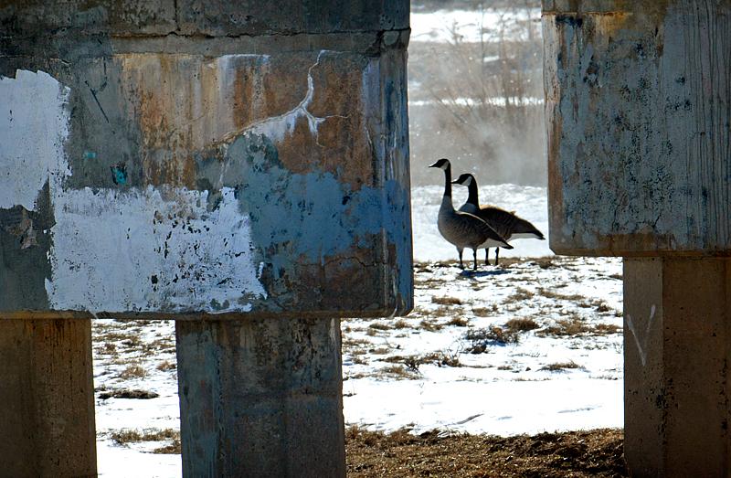 geesebetweenthepiers0106