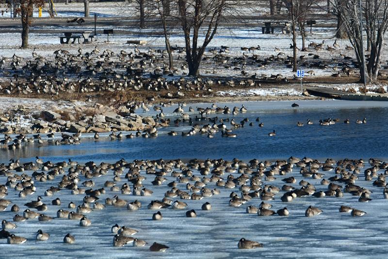 stupid geese
