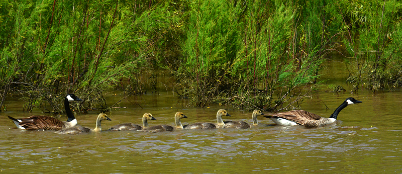 goosefamily