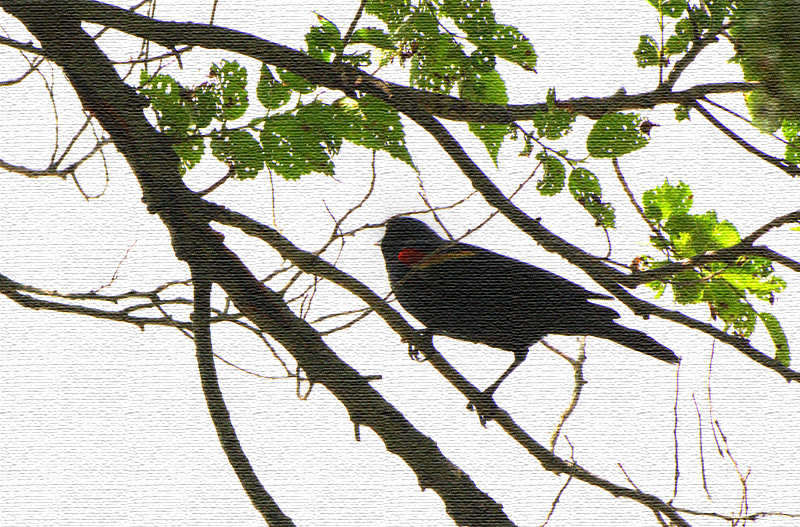ricepaperblackbird