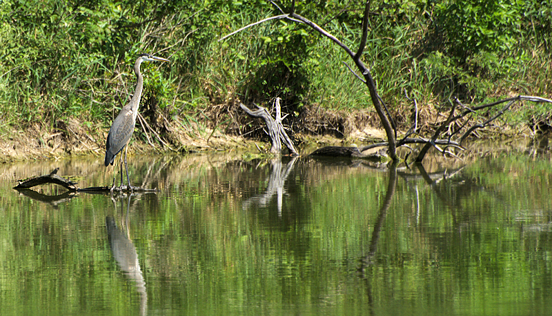 lakeshoreheron