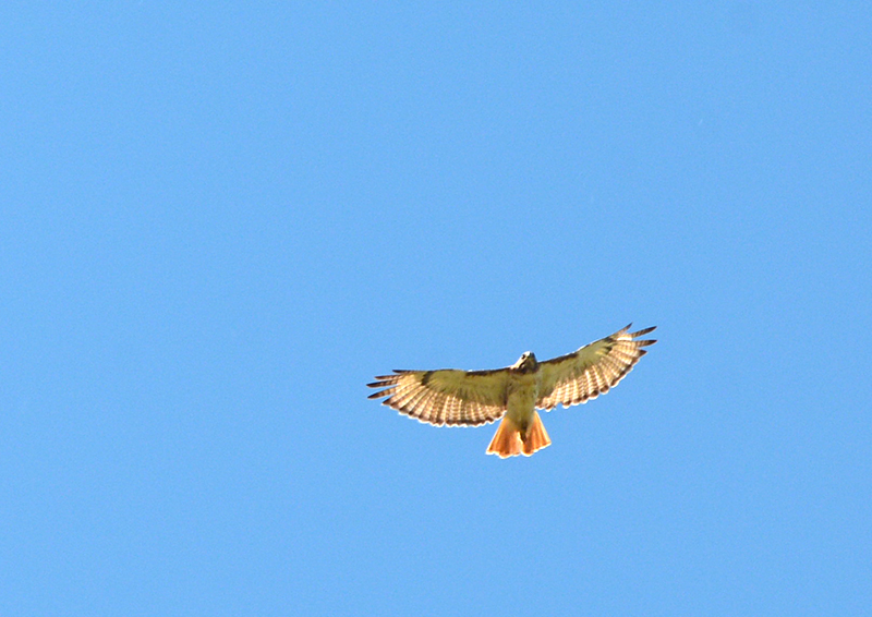 20160715-hawk