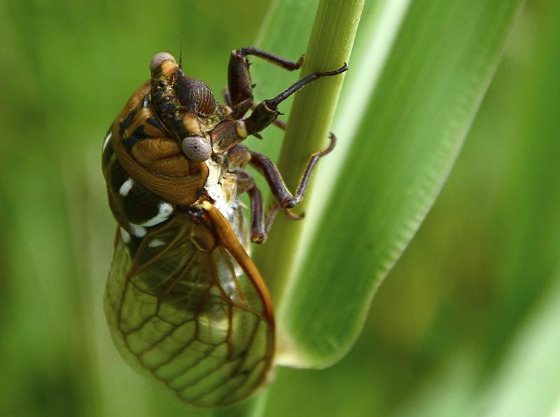 20160829-cicada_dsc8592