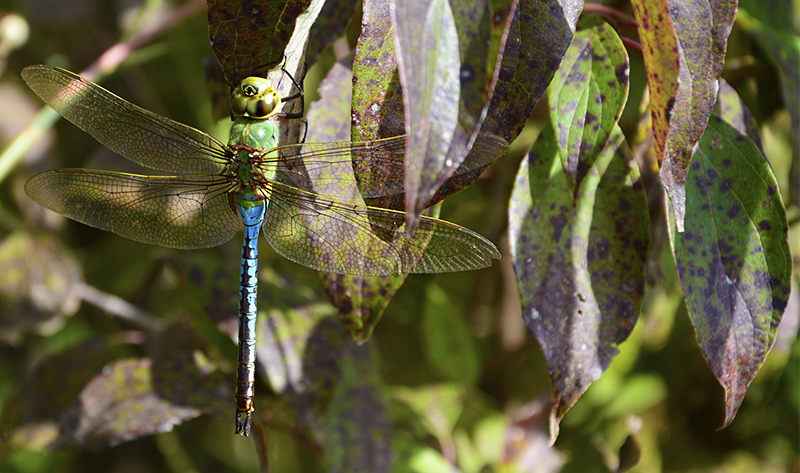 20160918-dragonfly